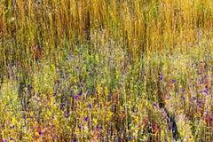 狸藻delphinoides flowe和小黄色草 库存图片