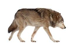 狼。 查出在白色 免版税库存照片