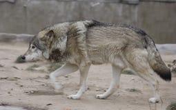 狼。 库存图片