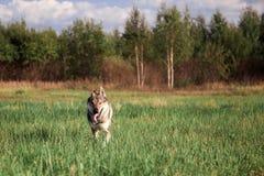 狼从森林出来 横跨领域的狼奔跑 免版税库存照片