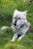 狼休息的画象 库存照片