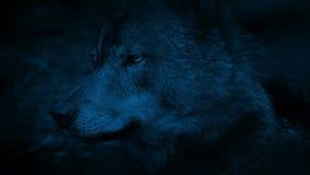 狼侧视图在晚上 股票视频