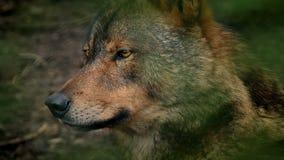 狼侧视图在森林里 股票录像