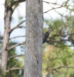 狼吞虎咽的Pileated啄木鸟在一棵死的树 免版税库存图片