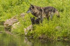狼和小狗 库存照片