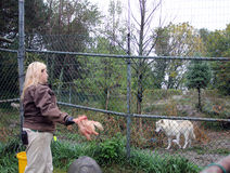 狼哺养 免版税库存图片