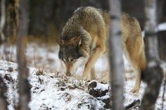 狼在冬天跟踪牺牲者 图库摄影
