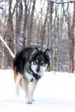 狼在冬天 免版税库存照片