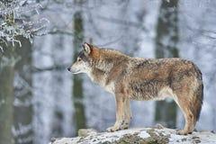 狼在冬天 免版税库存图片