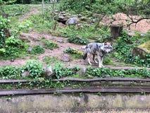 狼在动物园的封入物站立 免版税库存图片