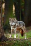 狼在有树的森林里 灰狼,天狼犬座,在橙色叶子 两在的秋天橙色森林动物吞下 库存照片