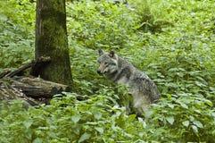 狼在森林里 库存照片
