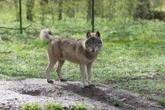 狼在森林里 库存图片
