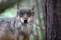 狼在森林,画象里 图库摄影