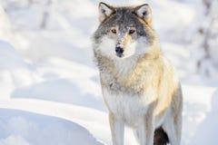 狼在美丽的冬天森林里站立 库存照片