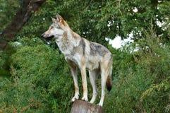狼在自然栖所 免版税库存照片