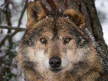 狼在雪下的特写镜头画象 免版税库存照片