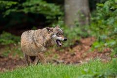 狼在巴伐利亚森林里打呵欠。 免版税库存图片