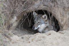 狼在洞穴 库存照片