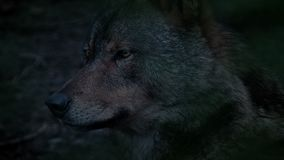狼外形视图在晚上 股票录像