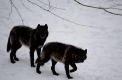 黑狼夫妇在雪的 免版税库存图片