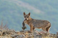 狼对狂放 免版税库存图片