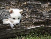 狼小狗 库存照片