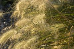 狼尾草在宏观看法的草本草 库存照片