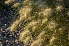 狼尾草在小卵石的草本草 免版税库存照片