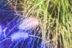 狼尾草草或使命草的关闭与创造性的轻颜色过滤器 免版税图库摄影