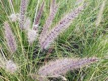 狼尾草alopecuroides植物在庭院、背景和纹理里 库存图片