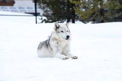 狼放下与雪在放松时间的冬天 免版税库存图片