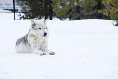 狼放下与雪在放松时间的冬天 库存照片