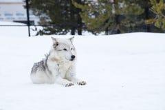 狼放下与雪在放松时间的冬天 库存图片