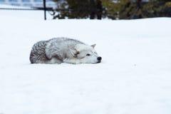 狼放下与雪在放松时间的冬天 免版税图库摄影