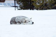 狼放下与雪在放松时间的冬天 免版税库存照片