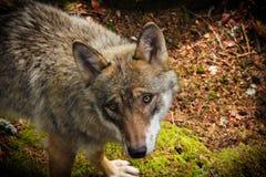 狼景色 您是否有事有趣为我? 库存照片