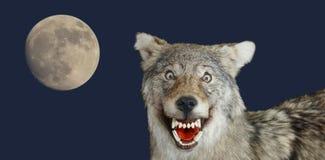狼枪口动物咧嘴和月亮蓝色背景 库存图片