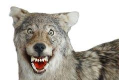 狼枪口动物咧嘴孤立白色背景 库存图片