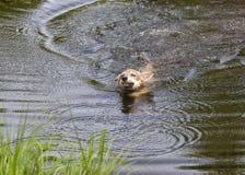 狼横跨湖的小狗游泳 免版税图库摄影