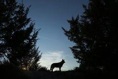 狼狗 免版税库存图片