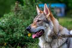 狼狗 免版税库存照片