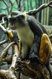 狼的莫娜猴子(长尾猴属wolfi) 库存照片
