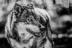 狼的黑白画象 免版税图库摄影