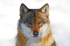 狼面对面的画象  与危险动物的冬天场面在森林灰狼,天狼犬座,与非常突出的钳子的画象 免版税库存照片
