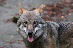 狼顶头画象 库存照片