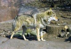 狼食肉动物的哺乳动物的犬齿聚集厚实的毛皮神话嗅觉娜拉皮肤传说a 库存图片