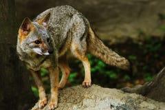 狼,瓜亚基尔,厄瓜多尔 库存图片