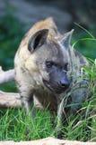 狼,鬣狗 免版税库存图片