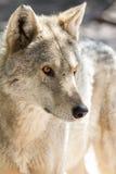 狼头和眼睛 免版税库存照片